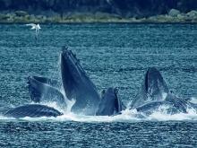 Неповторимый танец горбатых китов в Карибском море, район курорта Самана