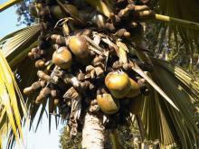 Сейшельская пальма - Лодоиция